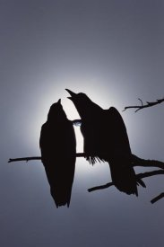 Michael Quinton - Common Raven pair perching on a branch, North America