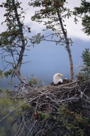 Michael Quinton - Bald Eagle on nest, Alaska