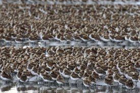 Michael Quinton - Western Sandpiper flock resting during  migration stop,  Copper River Delta, Alaska