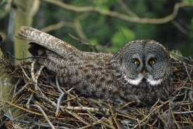 Michael Quinton - Great Gray Owl incubating eggs on nest, North America