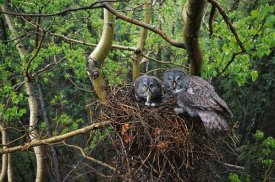 Michael Quinton - Great Gray Owl pair nesting, North America