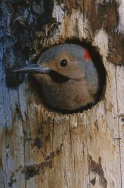 Michael Quinton - Northern Flicker woodpecker in nest cavity, Slana, Alaska