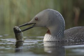 Michael Quinton - Red-throated Loon with fish for young, Alaska