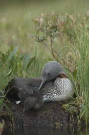 Michael Quinton - Red-throated Loon with chick on nest, Alaska
