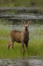 Michael Quinton - Alaska Moose calf standing in marsh, Alaska