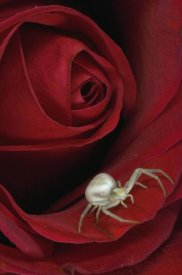Michael Quinton - Goldenrod Crab Spider on rose, Alaska