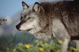 Tim Fitzharris - Timber Wolf adult portrait, North America