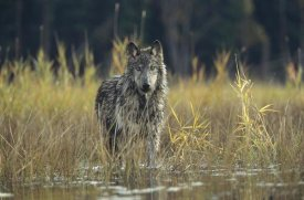 Tim Fitzharris - Timber Wolf pauses while walking through lake, Montana