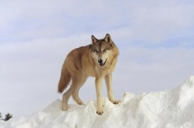 Tim Fitzharris - Timber Wolf standing at the top of a snow bank, Montana