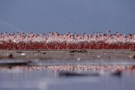 Tim Fitzharris - Lesser Flamingo flock parading in a mass courtship dance, Lake Bogoria, Kenya