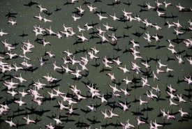 Tim Fitzharris - Lesser Flamingo flock flying lake, Kenya