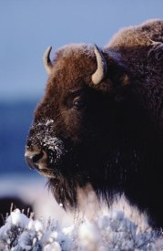 Tim Fitzharris - American Bison portrait in snow, North America