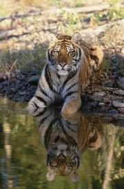 Tim Fitzharris - Siberian Tiger resting along water's edge