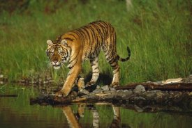 Tim Fitzharris - Siberian Tiger walking along waters edge