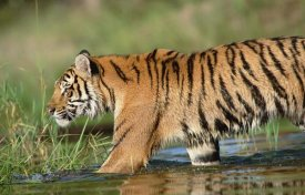 Tim Fitzharris - Siberian Tiger walking through a shallow river