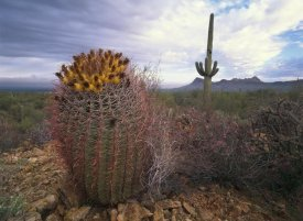 Tim Fitzharris - Saguaro and Giant Barrel Cactus with Panther and Safford Peaks, Arizona