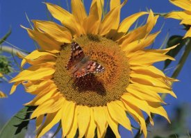 Tim Fitzharris - Painted Lady butterfly on sunflower, New Mexico