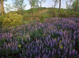 Tim Fitzharris - Lupine in meadow at West Beach, Indiana Dunes National Lakeshore, Indiana