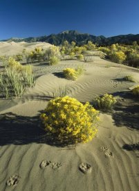 Tim Fitzharris - Coyote tracks and flowering shrubs, Great Sand Dunes, Colorado