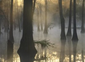 Tim Fitzharris - Bald Cypress grove in freshwater swamp at dawn, Lake Fausse Pointe, Louisiana