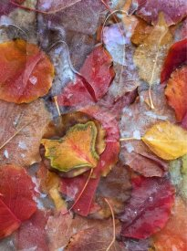Tim Fitzharris - Fallen autumn colored Aspen leaves frozen on the ground