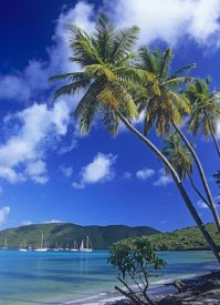 Tim Fitzharris - Palm trees at Maho Bay, Virgin Islands
