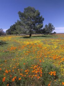 Tim Fitzharris - California Poppy and Eriophyllum field, Antelope Valley, California