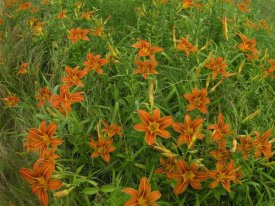 Tim Fitzharris - Orange Daylily growing in meadow, North America