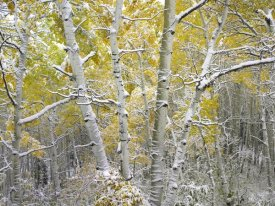 Tim Fitzharris - Quaking Aspens near Kebbler Pass, Gunnison National Forest, Colorado