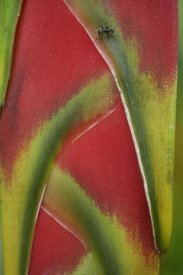 Tim Fitzharris - Ant on Heliconia , Costa Rica