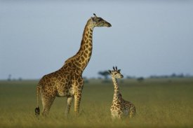 Tim Fitzharris - Giraffe adult and foal on savanna, Kenya