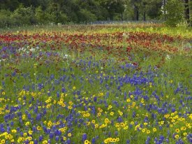 Tim Fitzharris - Annual Coreopsis Texas Bluebonnet and Drummond's Phlox