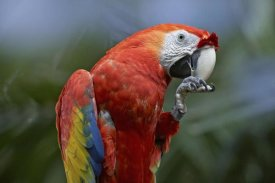 Tim Fitzharris - Scarlet Macaw eating, Costa Rica