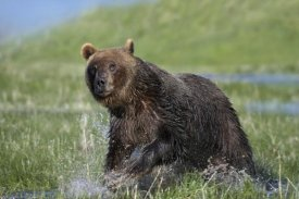 Tim Fitzharris - Grizzly Bear running through water, North America