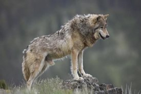 Tim Fitzharris - Gray Wolf , North America
