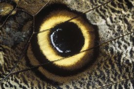 Konrad Wothe - Forest Giant-Owl butterfly wing showing eye-mark, Germany