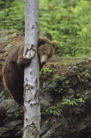 Konrad Wothe - Brown Bear adult climbing a tree, Europe