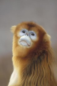 Konrad Wothe - Golden Snub-nosed Monkey , Wildlife Safari Park, Beijing, China