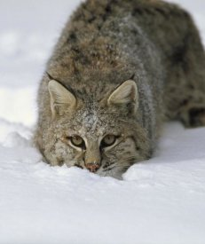 Konrad Wothe - Bobcat crouching in snow, Colorado