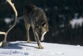 Konrad Wothe - Timber Wolf approaching, North America