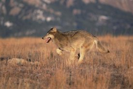 Konrad Wothe - Timber Wolf running through dry grass, Colorado