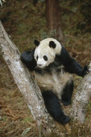 Konrad Wothe - Giant Panda resting in tree, Wolong Valley, China