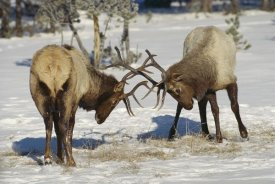 Konrad Wothe - Elk bulls fighting in the snow, Yellowstone National Park, Wyoming