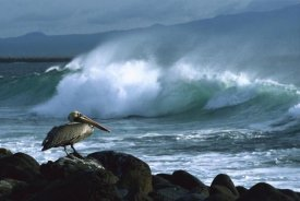 Konrad Wothe - Brown Pelican and ocean waves, Galapagos Islands, Ecuador