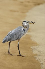 Konrad Wothe - Great Blue Heron eating a Green Sea Turtle hatchling, Galapagos Islands, Ecuador