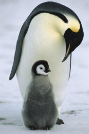 Konrad Wothe - Emperor Penguin parent with chick, Antarctica