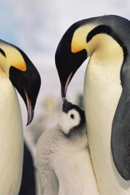 Konrad Wothe - Emperor Penguin parents with chick, Antarctica