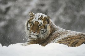Konrad Wothe - Siberian Tiger portrait in snow storm, Siberian Tiger Park,  China