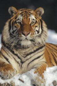 Konrad Wothe - Siberian Tiger portrait in snow, Siberian Tiger Park, China
