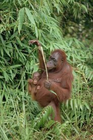 Konrad Wothe - Orangutan mother with baby, Tanjung Puting National Park, Borneo